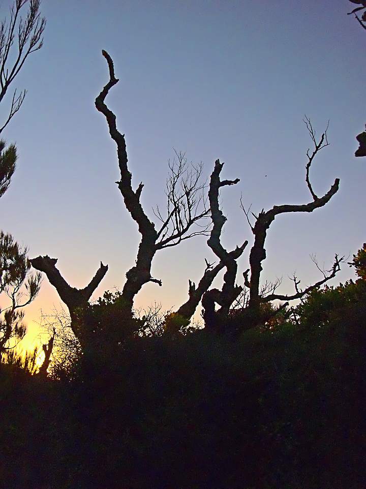 Dead Trees at Sunset Mason Bay